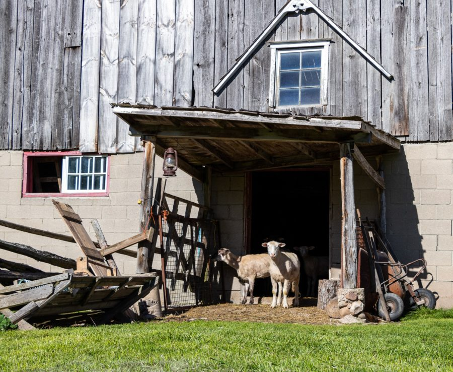 This little sheep looks a little incredulously. A townie on the farm? WWOOF makes it possible.