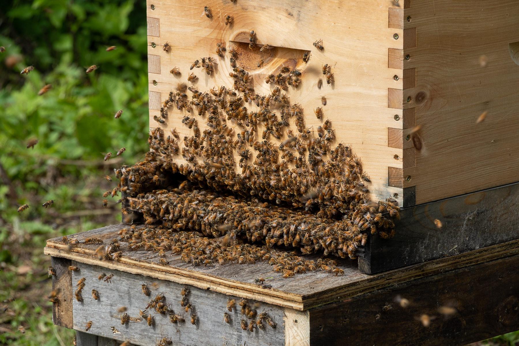 Am Eingang zum Bienenstock herrscht während der Saison Hochbetrieb.
