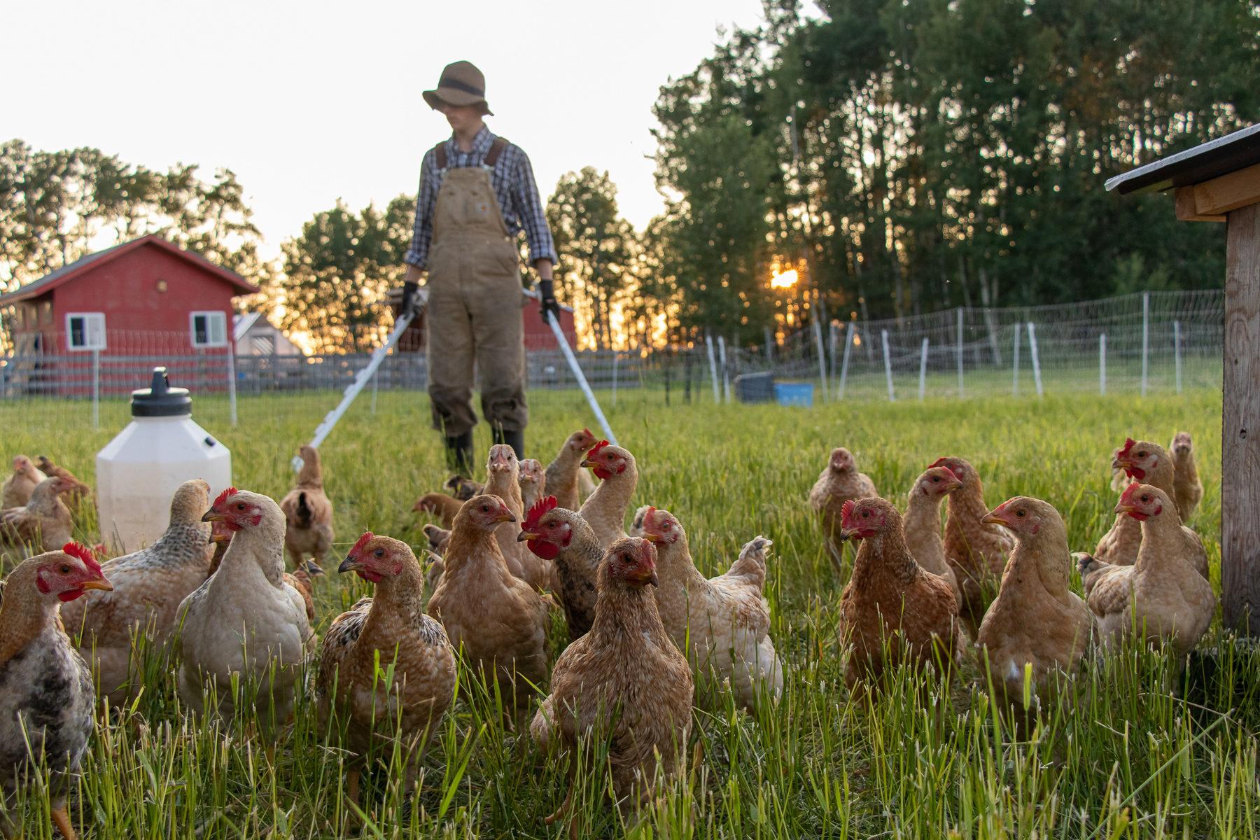 Schlafenszeit: Gabriel sperrt die Hühner für die Nacht in den Stall.