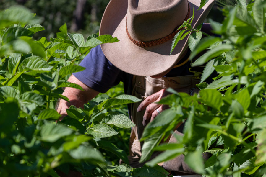 Guy Fletcher in the potato field. What he robs, becomes food right away.