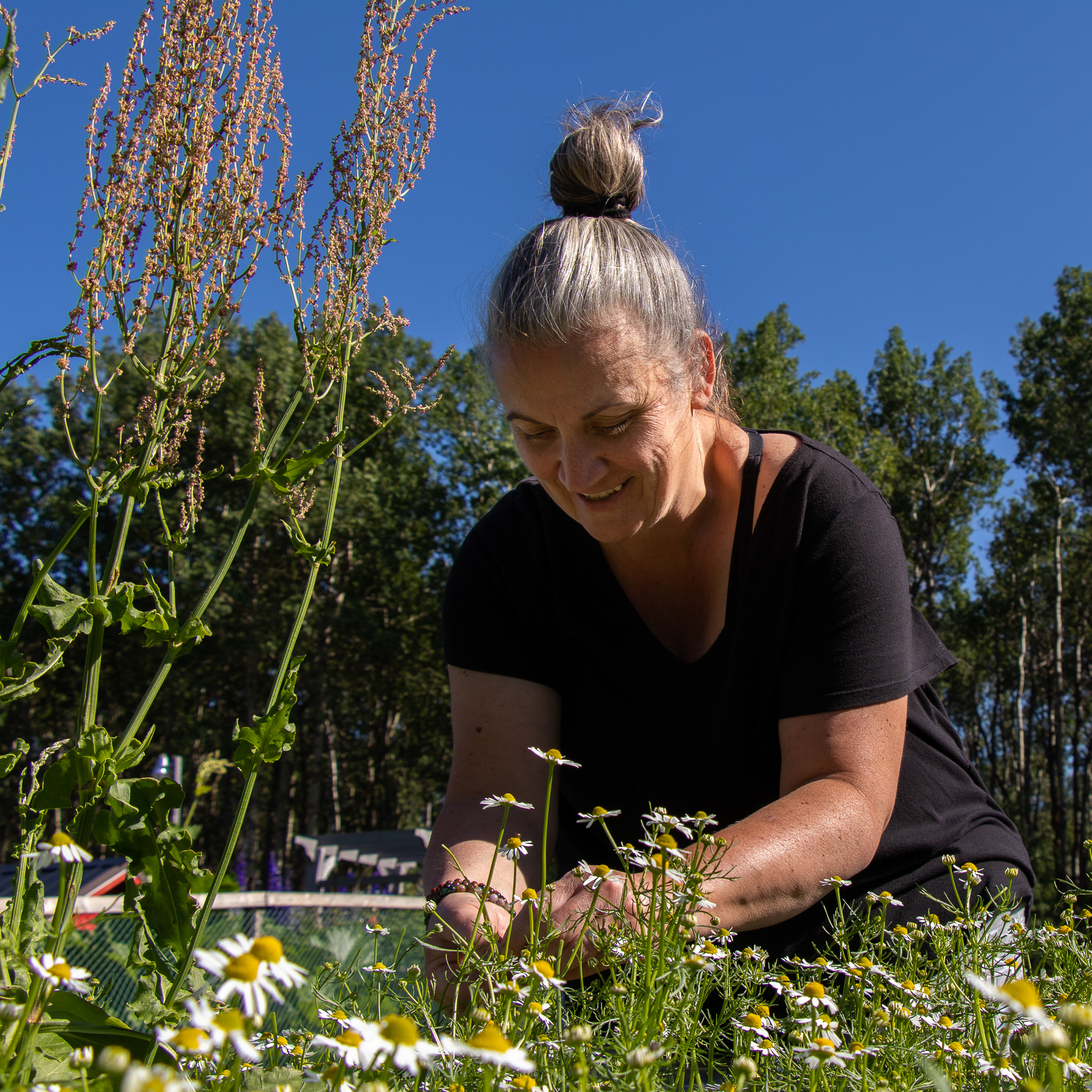 Nadine picks chamomile flowers. From this she makes teas and salves.