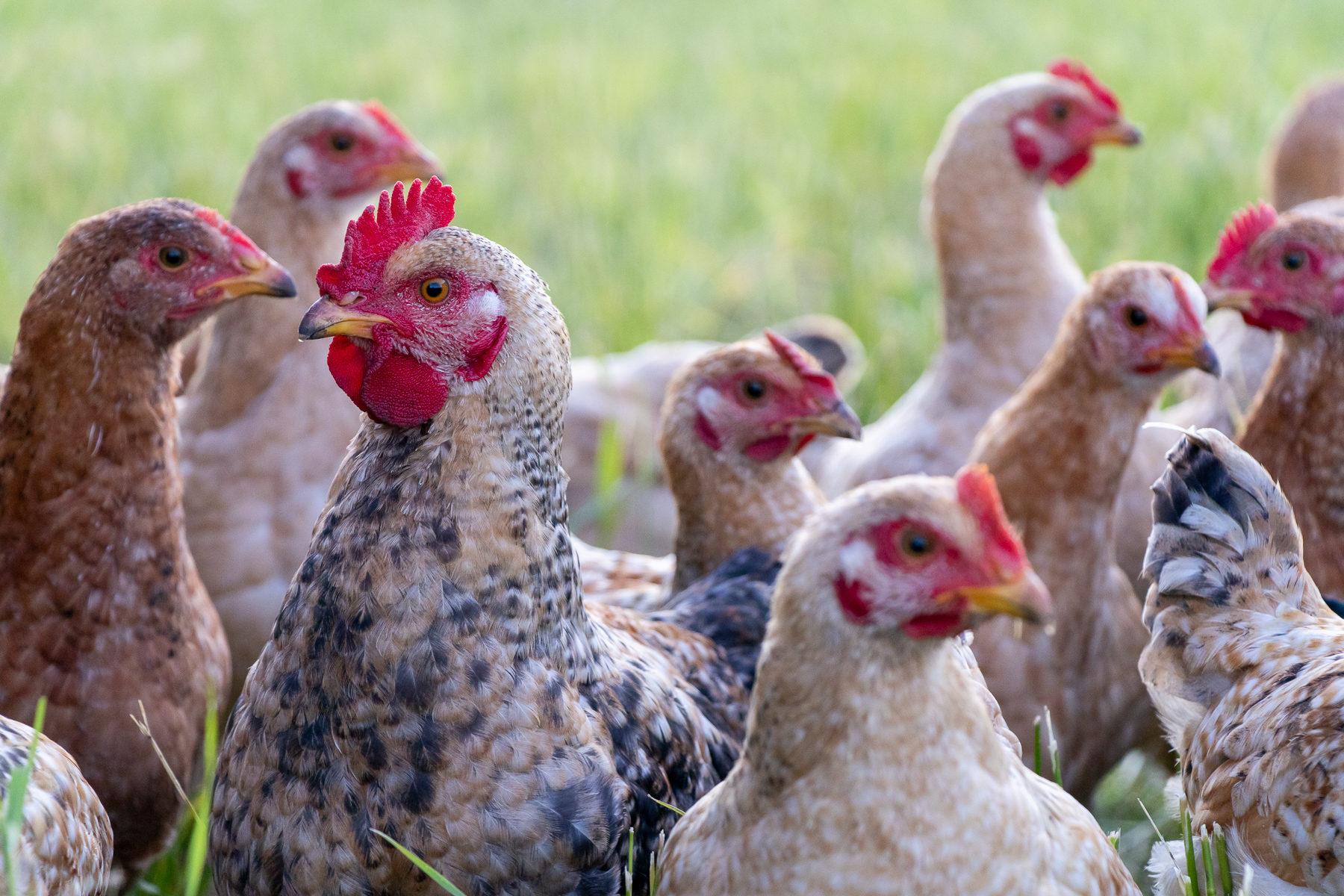 Für Raubtiere wie Kojoten sind Hühner eine leckere Mahlzeit.