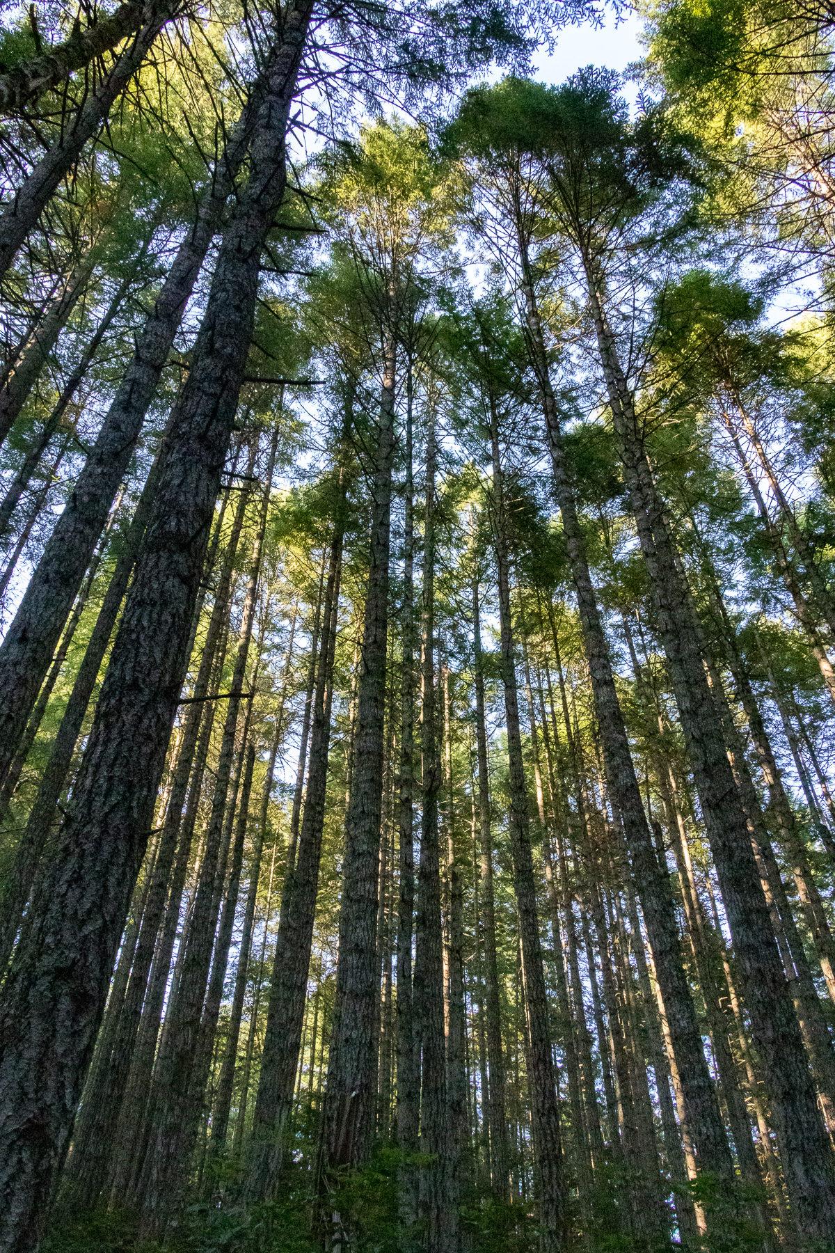 Die Sonne schimmert durch die Kronen dieser Bäume.