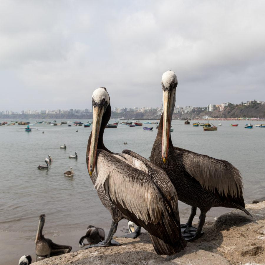 Pelikane in Lima, Peru. Auch sie werfen einen Blick zurück - wortwörtlich.