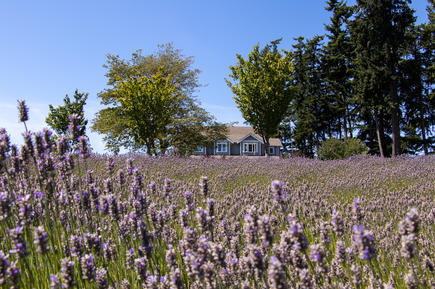 Lavender fields - a piece of Provence on Vancouver Island.