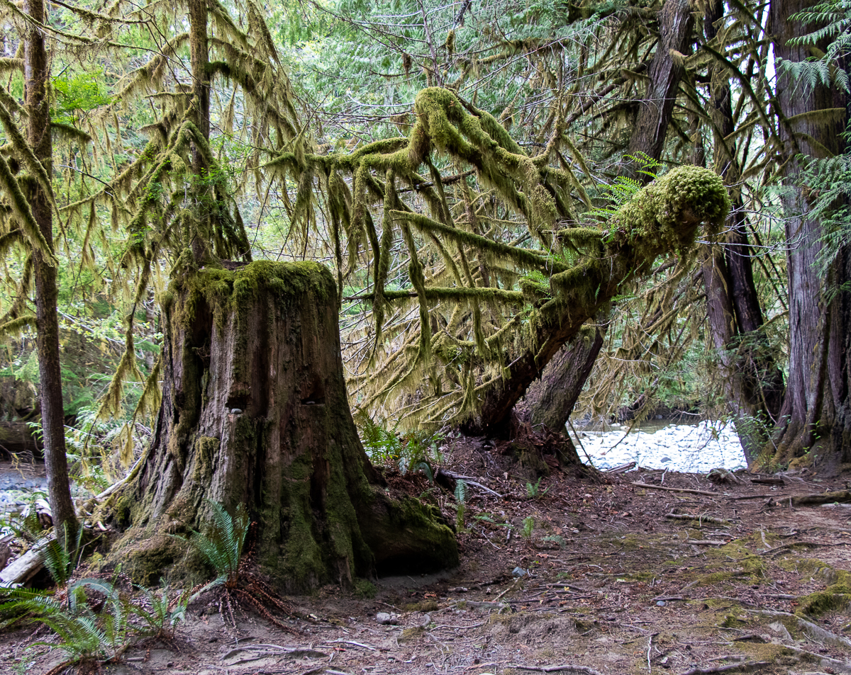 The forest in Rosewall Creek Provincial Park is somewhat reminiscent of the backdrop in The Lord of the Rings.
