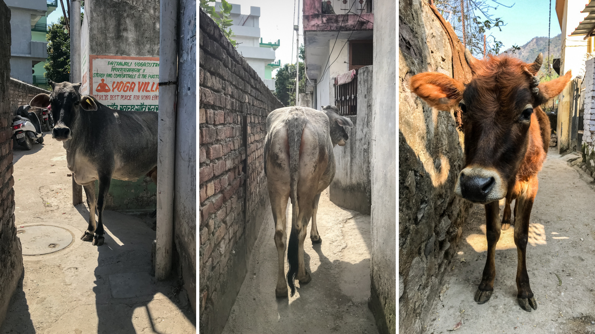 Cow in alley. Who wants to pass here, must push the animal out of the way.